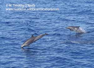 Dominica Spinner Dolphin