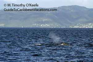 Sperm whales, Dominica